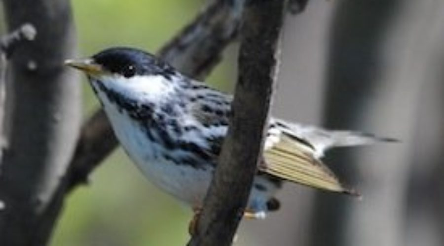 Blackpoll Warblers in Swoope