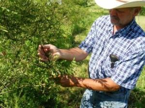 False Indigo Bush seed head in June