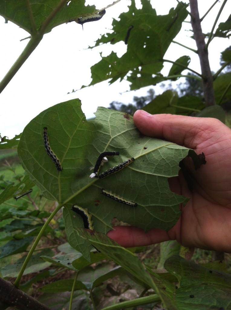 Catalpa Worms