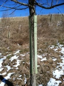 Inverted tree shelter to prevent buck rubs.
