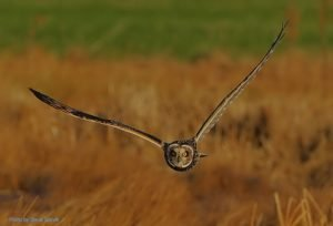 A Short Eared Owl hunting over grassland.