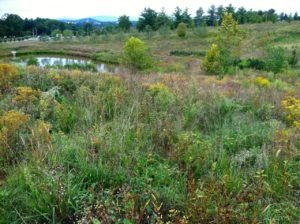 Native meadow at Martha Jefferson Hospital in Charlottesville, Virginia. This meadow functions as a buffer for the stream and pollinator corridor.