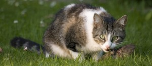 Cat eating a bird. Photo by Gaetan-Priour and courtesy of the American Bird Conservancy