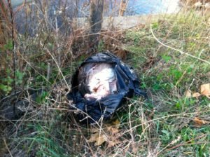 Illegal deer hunters stuffed their deer carcass into this plastic bag and dumped it into Middle River.