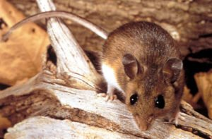 Deer Mice often make their nests in Bluebird boxes.