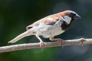 English Sparrow. Photo by Tony Northrup.