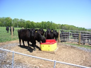 "Angus cattle drinking from a ""freeze proof"" waterer. There are many programs to help fund and design livestock watering systems."