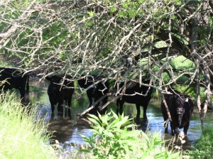 Beef cattle in Poague Run before stream exclusion.