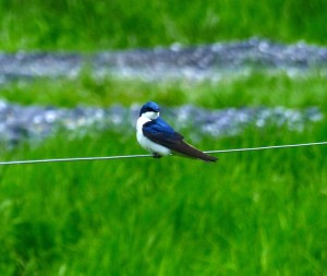 Male Tree Swallow on guard near his nest.