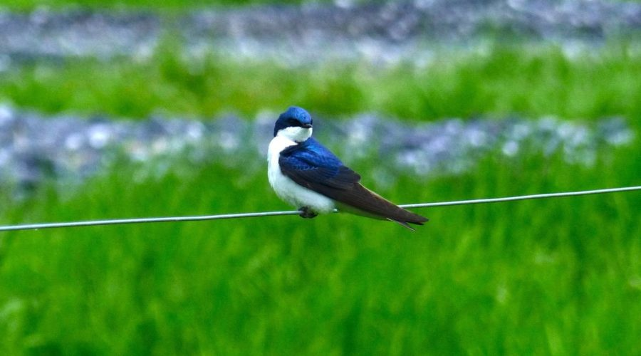 A Phenological Event: The Spring Surge of Swoope and the Arrival of Tree Swallows