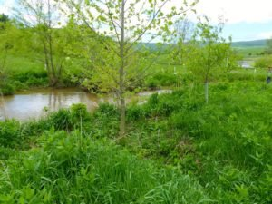 This is where the cows used to cross the river.  The Sycamore in the foreground was planted by mother nature.