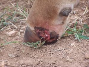 """Cattle grazing too much Tall Fescue can get """"fescue foot"""", a crippling condition caused by the toxins in the grass."""