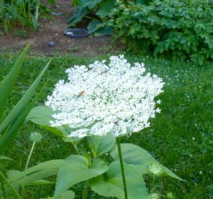 Queen Ann's Lace in bloom with two soldier beetles.