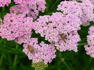Yarrow with soldier beetles.