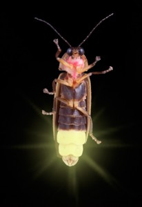 Firefly close-up. Picture from www.firefly.org.