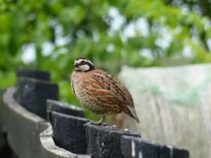 Male Northern Bobwhite in the backyard at Meadowview.