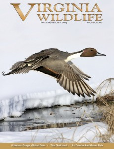 Click on the image of the front cover of the Jan/Feb 2015 issue of Virginia Wildlife Magazine to read the article. Permission to post this image and the article was granted by the Virginia Department of Game and Inland Fisheries.