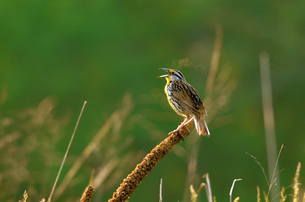 Eastern Meadowlark. Photo by Amy Johnson.