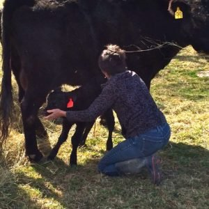 Jeanne training a calf to nurse in the field.