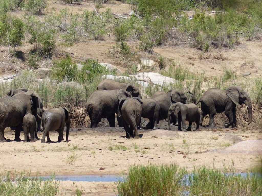 Elephants in Kruger