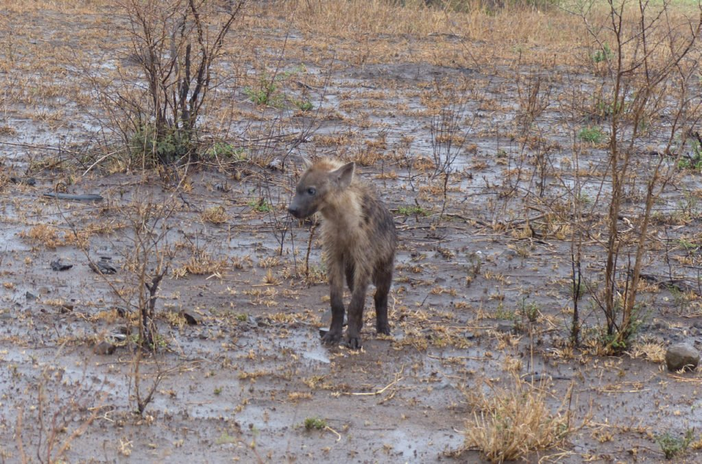 Spotted Hyena laughing in the rain. Photo by Jeanne T Hoffman