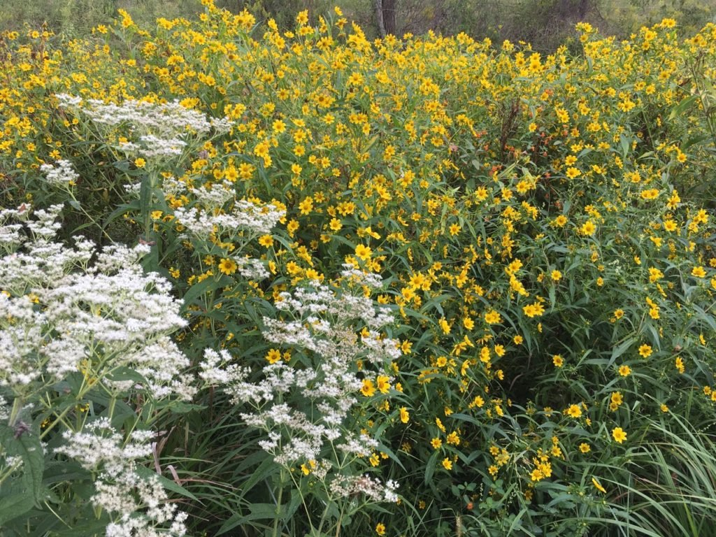 White, Boneset; orange, Jewell weed and yellow Bur Marigold