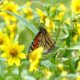 Fueling Stations for Monarchs – Swoope Almanac September 2016