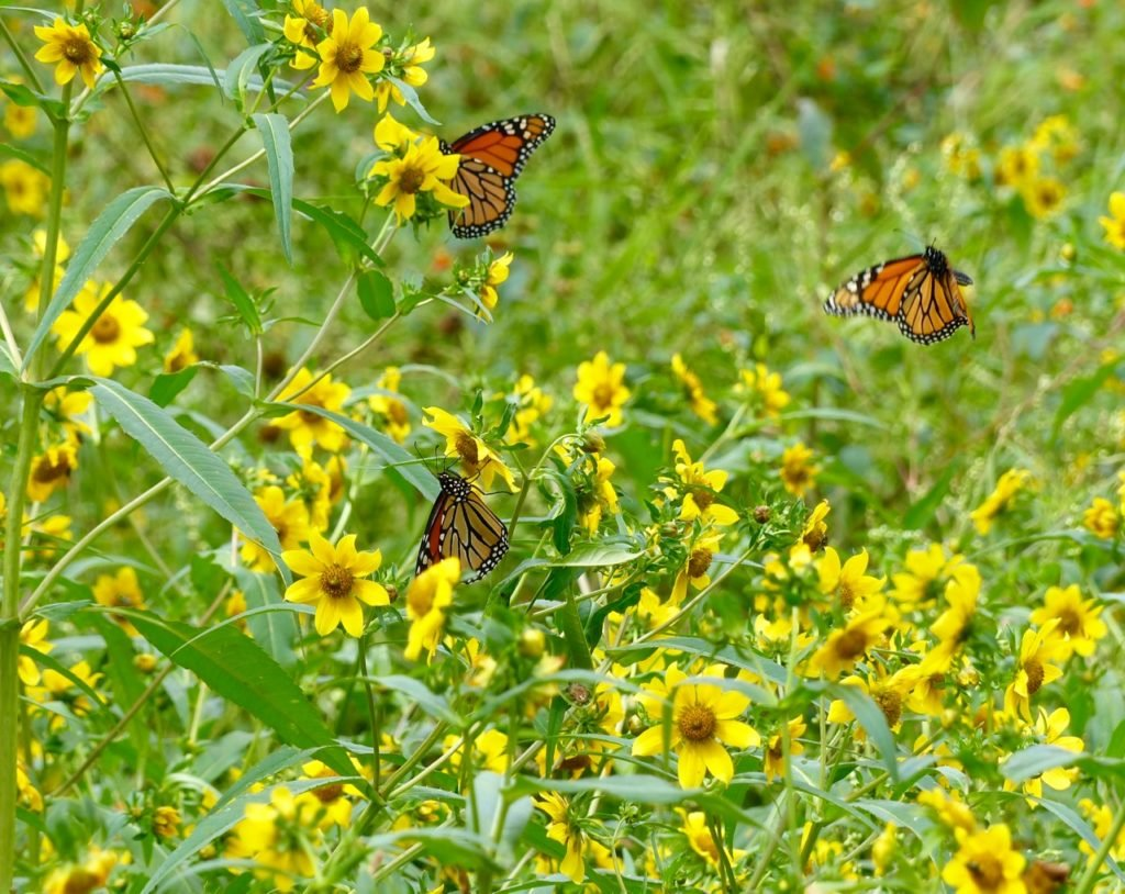 Bur Marigold provides nectar for many pollinators including these Monarch butterflied