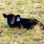 Calving Season: Swoope Almanac – March 2017