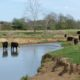 Cattle Exclusion Mandate From Perennial Streams in Virginia