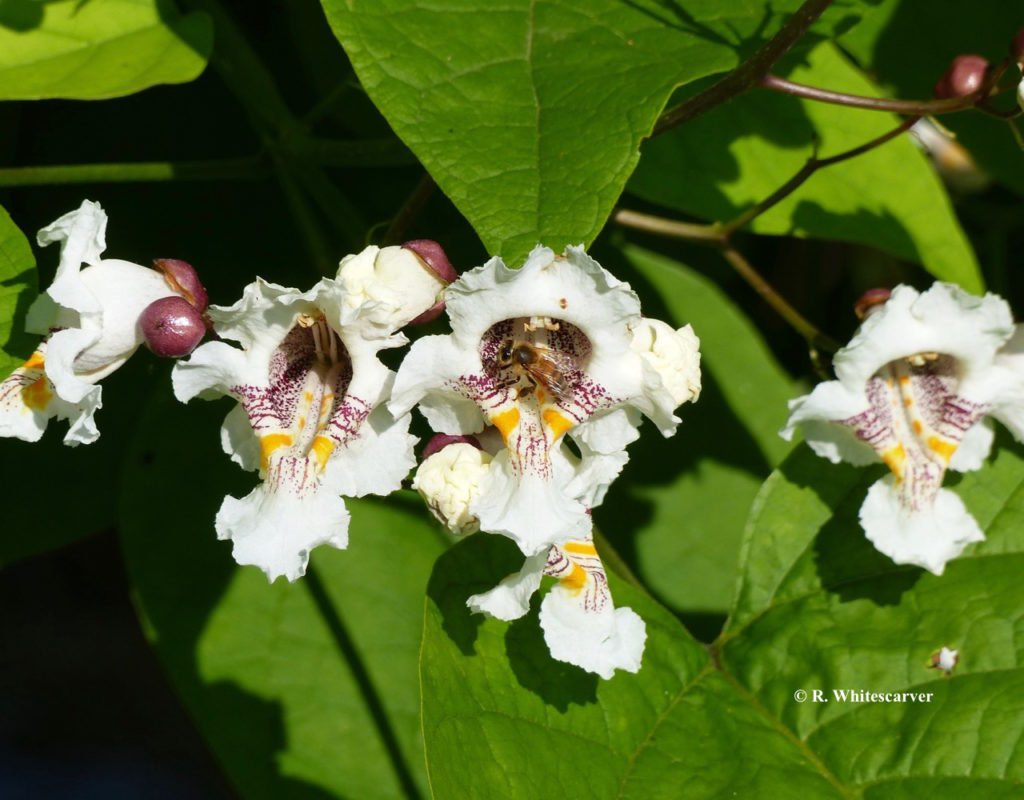 Catalpa blooms guide the pollinators.
