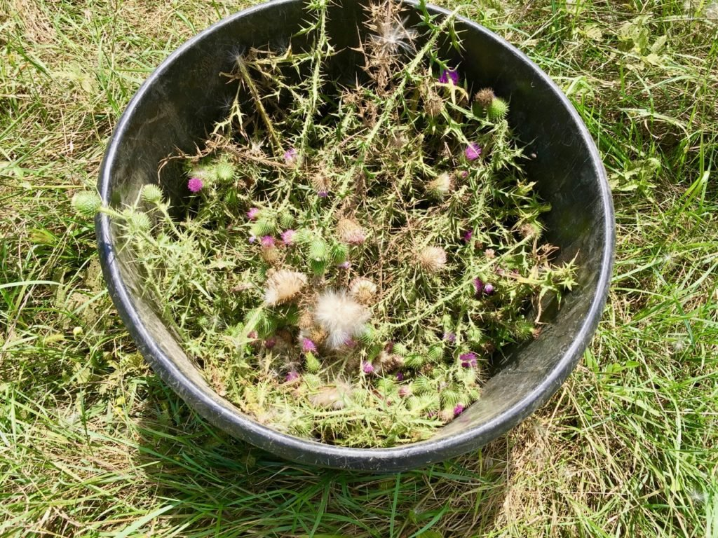 Bull Thistle seed heads