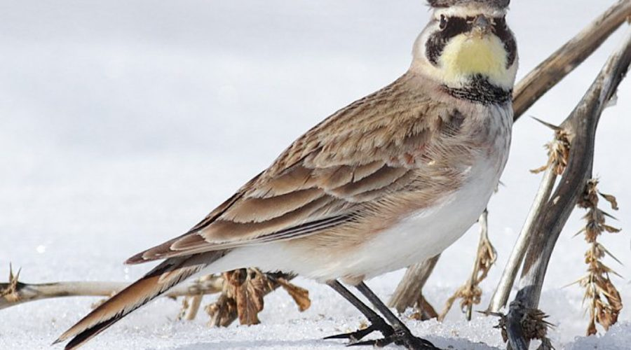 Horned Lark – Special Species of Swoope