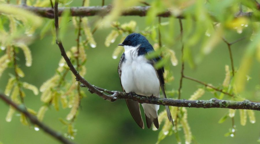 Tree Swallows, Mercury Contamination and Middle River
