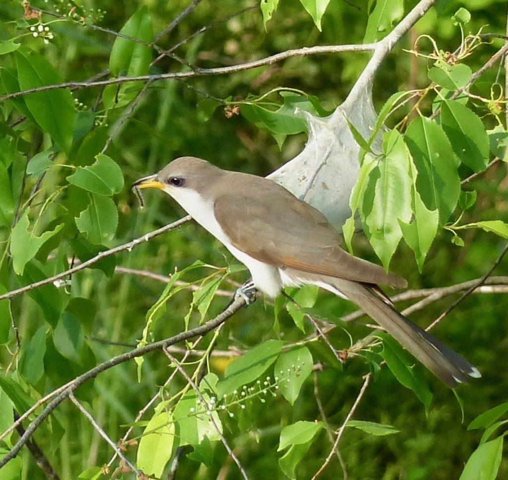 Yellow-billed Cuckoo at the river.