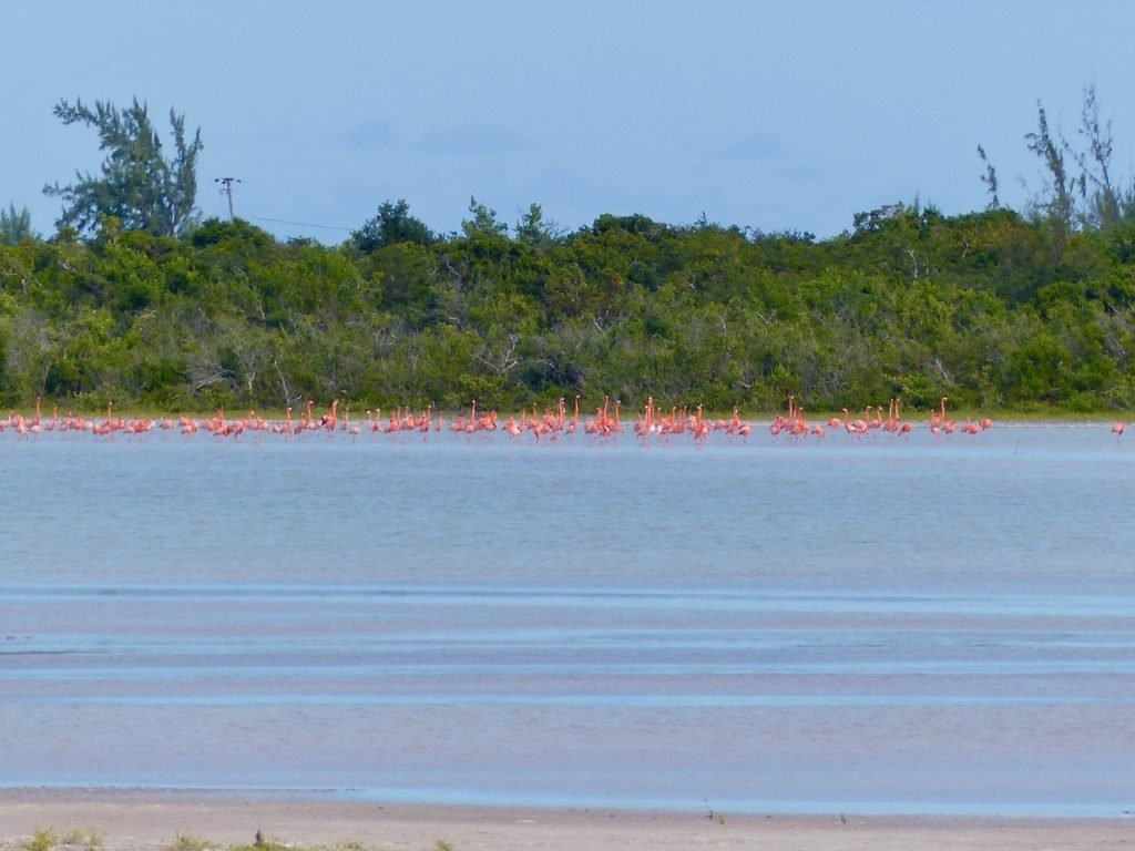 Flamingos now flourish on Anegada.