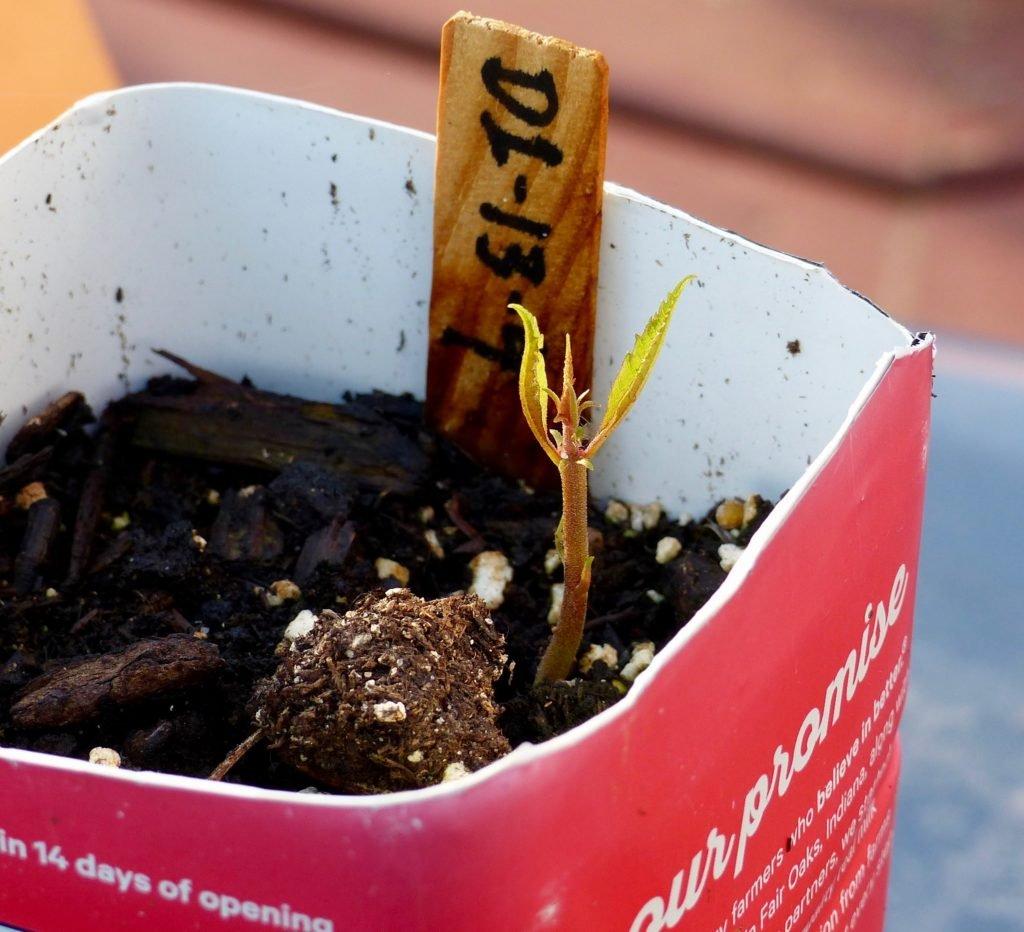 Restoration American Chestnut