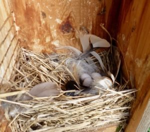 Tree Swallow next with eggs