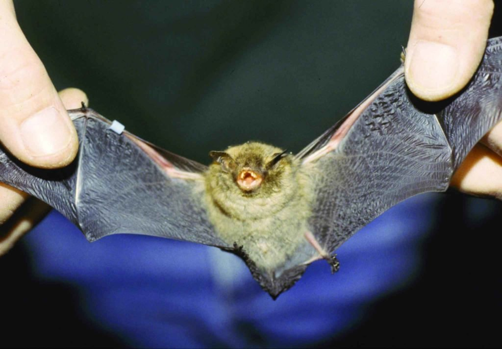 The endangered Indiana Bat.