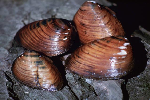 Clubshell mussel.