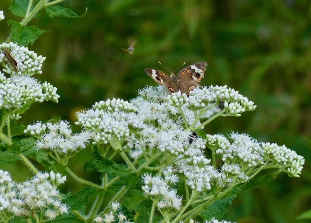 Buckeye on Boneset