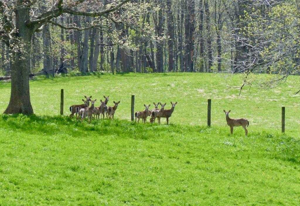 Deer in Swoope