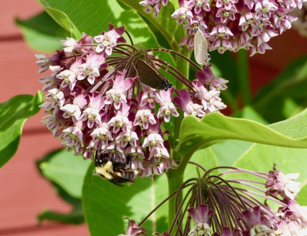 Milkweed pollinators