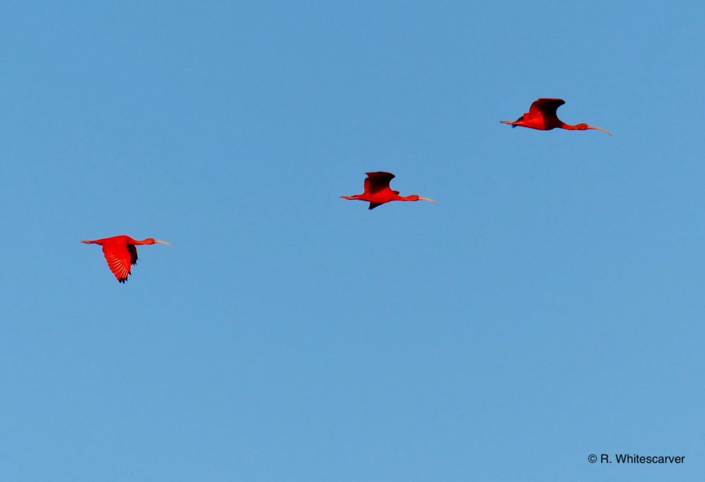 Scarlet Ibises flying in to roost.