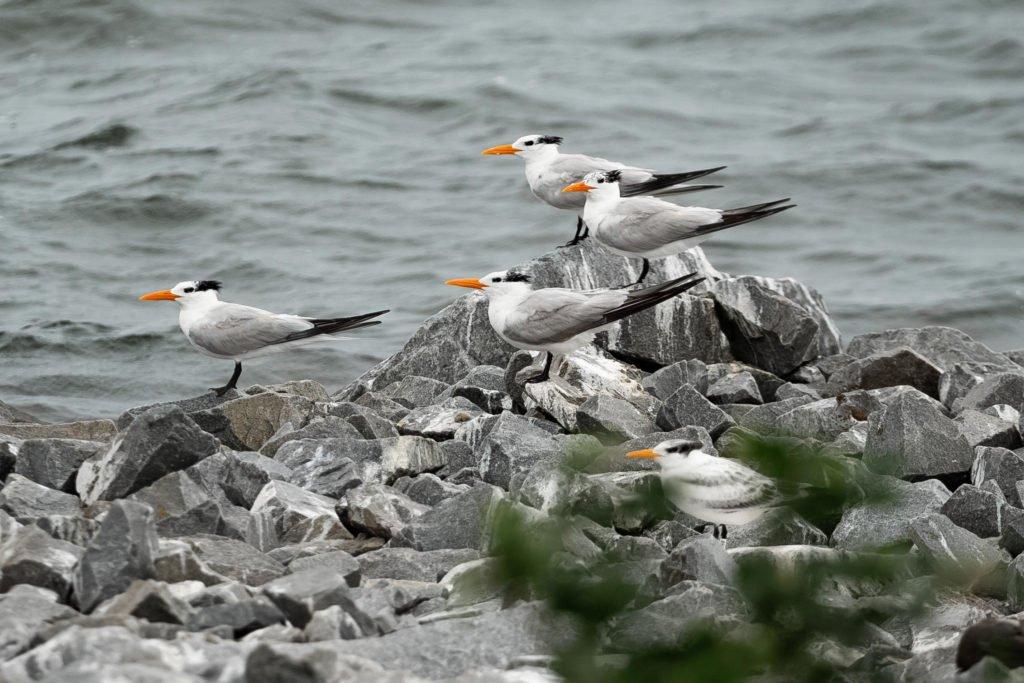 Royal Tern nesting site destroyed.