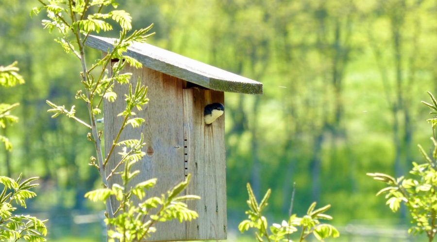 Tree Swallow in nest box.