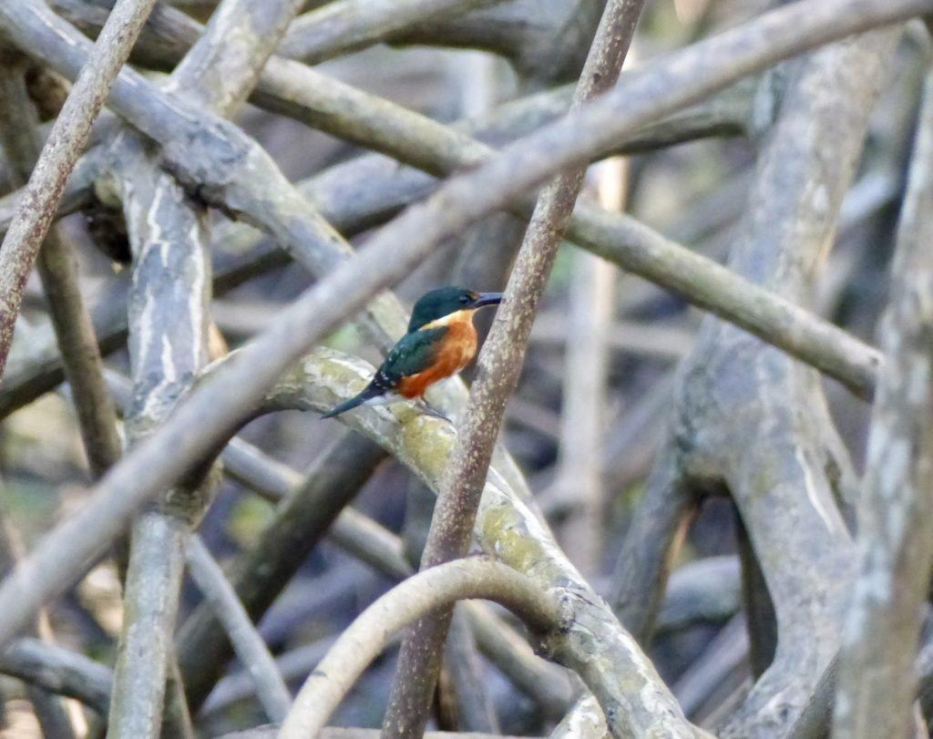 Pygmy kingfisher in the Caroni Swamp