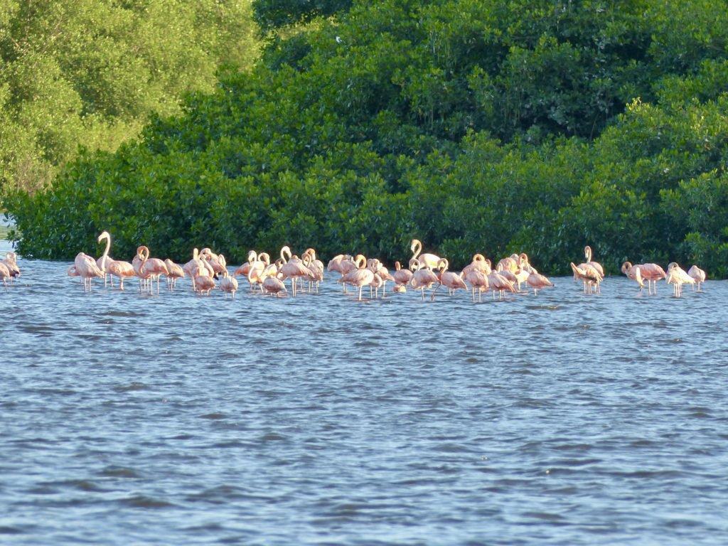 Pink Flamingos Caroni Swamp