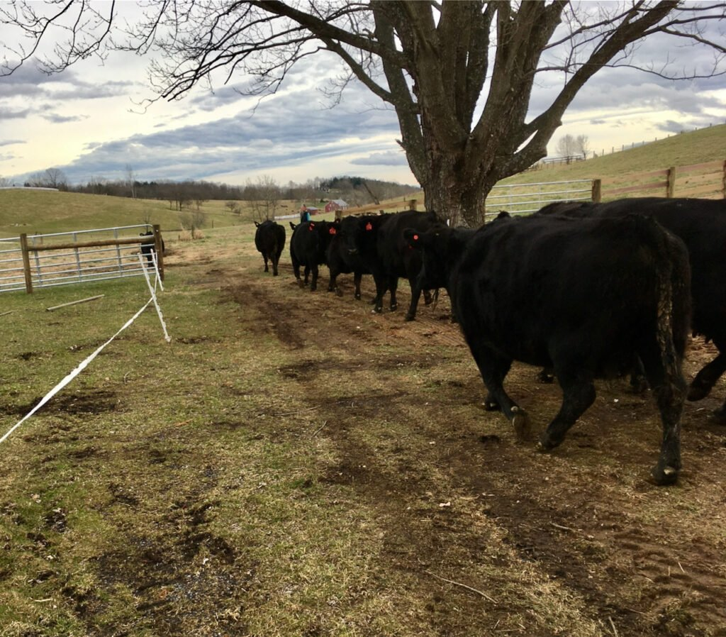 The cows come home to Whiskey Creek Angus