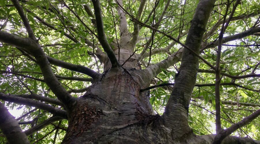 Willow Oak in our riparian forest buffer
